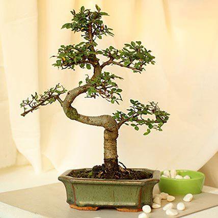 Elm Bonsai:  Plants Delivery