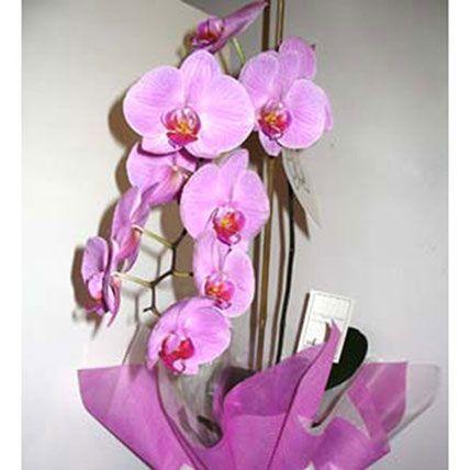 Pot Orchid Plant:  Plants Delivery